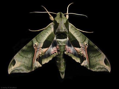 Eumorpha pandorus