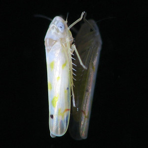 Erythroneura sp.