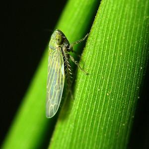 Graminella nigrifrons