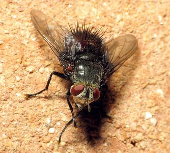 Juriniopsis sp.